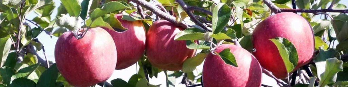 喬木村のオススメフルーツ りんご